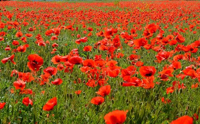 poppies-477862_640