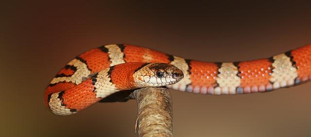 king-snake-502263_640