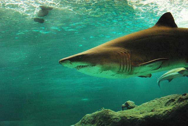 shark-506025_640