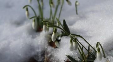 snowdrop-648800_640