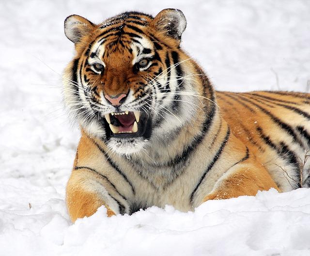 tiger-585855_640