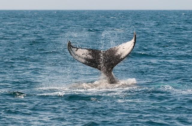 whale-630256_640