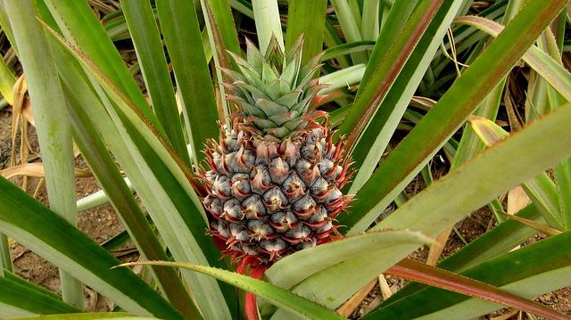 pineapple-571792_640