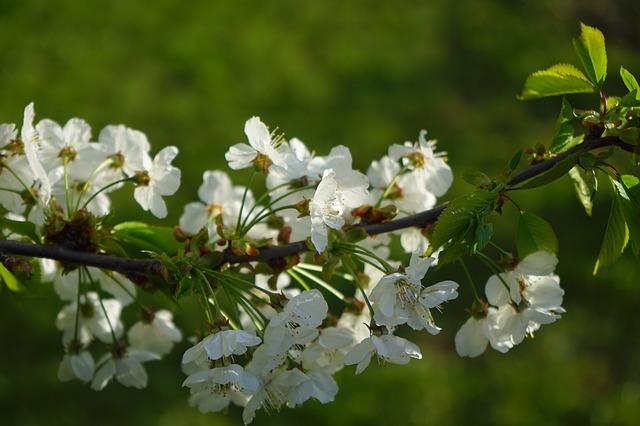 cherry-blossom-324526_640