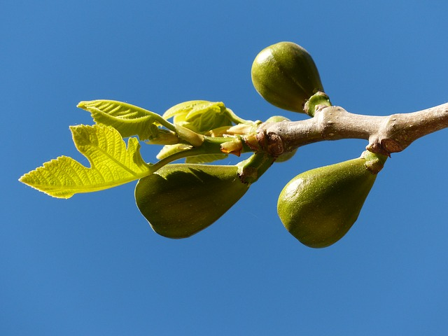 figs-357683_640