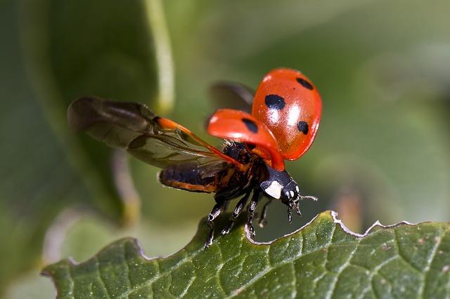 ladybug-743562_640
