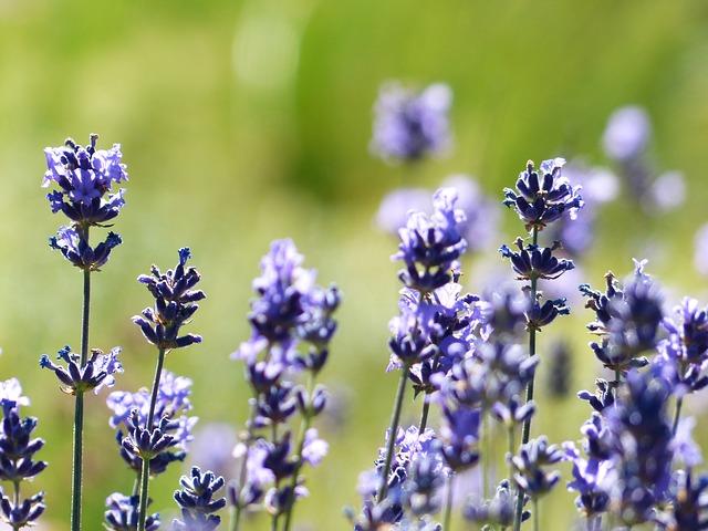 lavender-184001_640