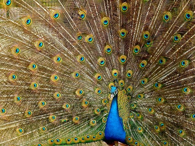 peacock-536478_640