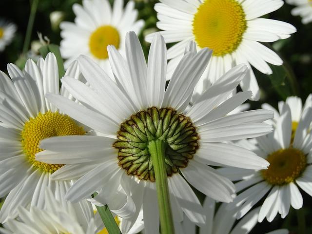 daisy-138578_640