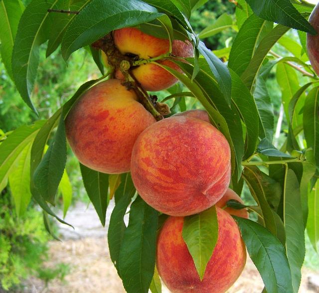 peach-846962_640