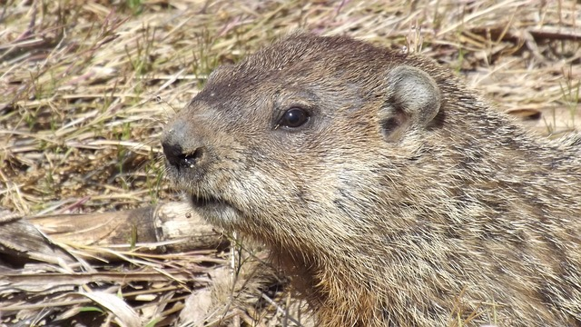 groundhog-546367_640