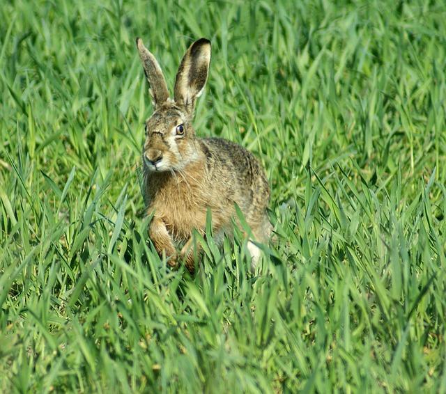 hare-1215096_640