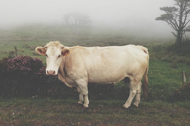 cow-1149204_640