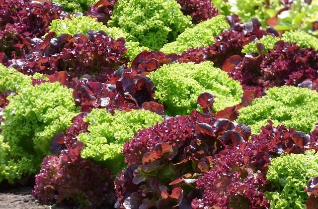 lettuce-1580674_640
