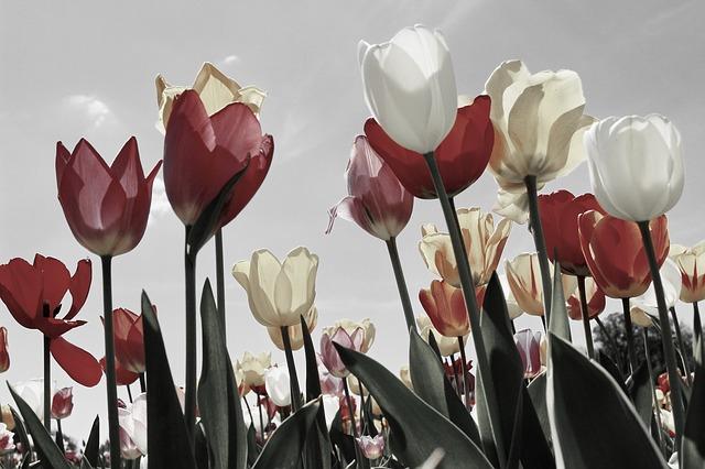 tulips-2219201_640