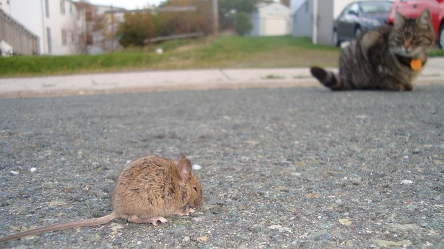 baby-rat-2656841_640