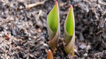 tulip-683989_640